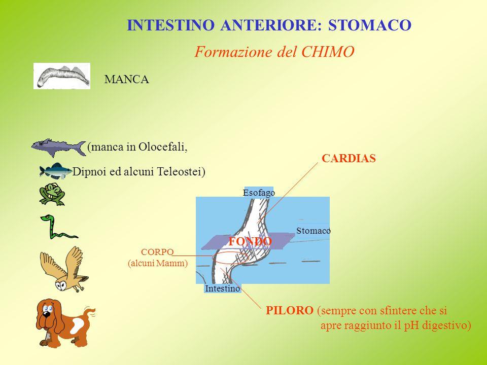 Stomaco INTESTINO ANTERIORE: STOMACO Formazione del CHIMO HCl (antibatterico) enzimi (proteasi) (pepsinogeno pepsina) HCl