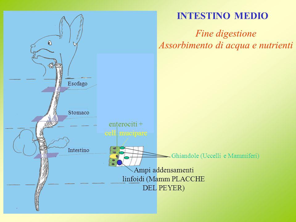 INTESTINO MEDIO Aumento superficie assorbente: Ittiopsidi MUCOSA SOTTOMUCOSA MUSCOLARE SIEROSA Tiflosole (Ciclostomi) Valvola spirale (Condroitti, Osteitti primitivi) Appendici piloriche (Teleostei)