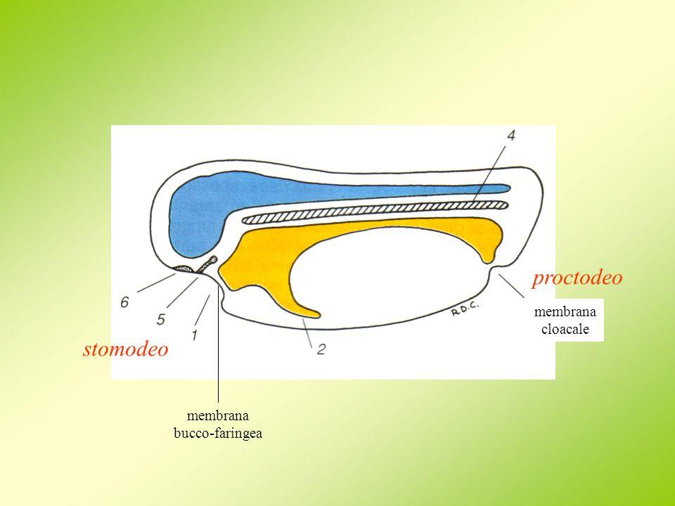 stomodeo proctodeo membrana bucco-faringea membrana cloacale