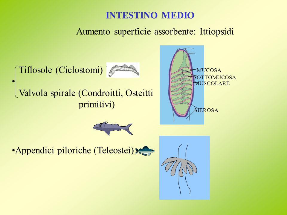 INTESTINO MEDIO Aumento superficie assorbente: Ittiopsidi MUCOSA SOTTOMUCOSA MUSCOLARE SIEROSA Tiflosole (Ciclostomi) Valvola spirale (Condroitti, Ost