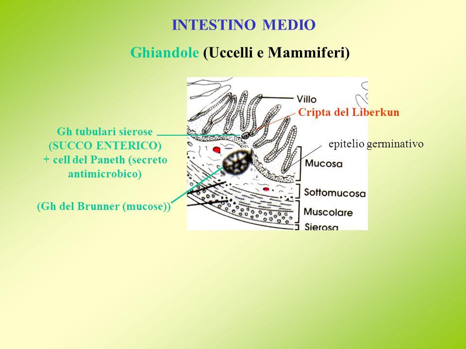 INTESTINO MEDIO Ghiandole (Uccelli e Mammiferi) Cripta del Liberkun Gh tubulari sierose (SUCCO ENTERICO) + cell del Paneth (secreto antimicrobico) epitelio germinativo (Gh del Brunner (mucose))