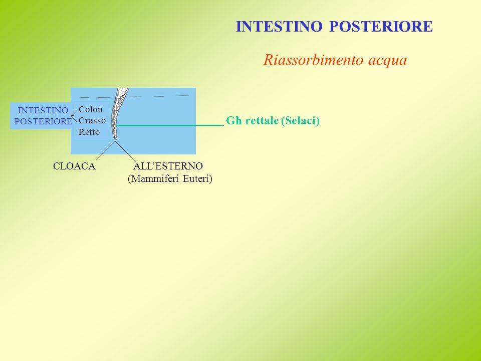 TUBO DIGERENTE Esofago Stomaco Intestino Ghiandole (Uccelli e Mammiferi) Ghiandole Ghiandole (mono o pluri)