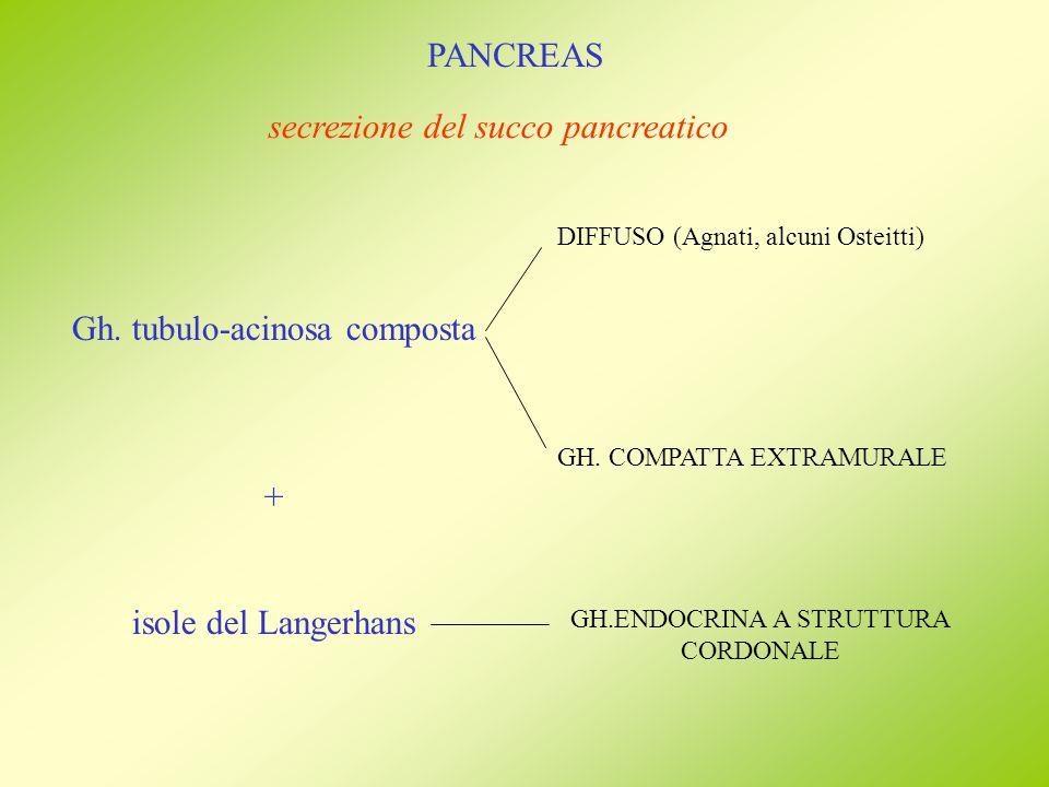 Gh. tubulo-acinosa composta + isole del Langerhans DIFFUSO (Agnati, alcuni Osteitti) GH. COMPATTA EXTRAMURALE secrezione del succo pancreatico GH.ENDO