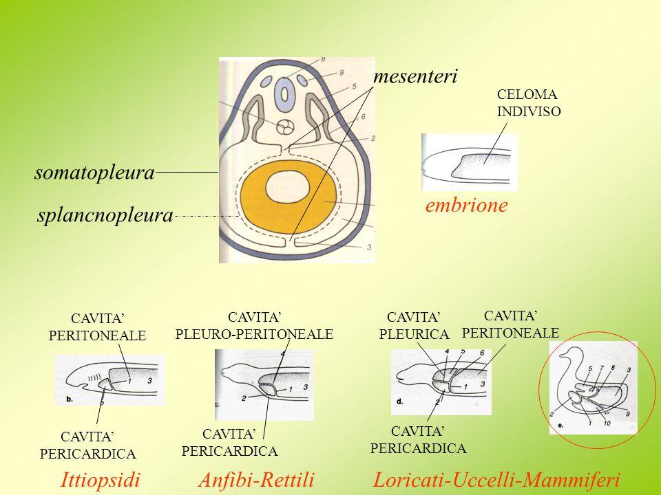 CAVITA PERICARDICA CAVITA PERITONEALE Ittiopsidi CAVITA PLEURO-PERITONEALE CAVITA PERICARDICA Anfibi-Rettili CAVITA PERICARDICA CAVITA PERITONEALE CAV