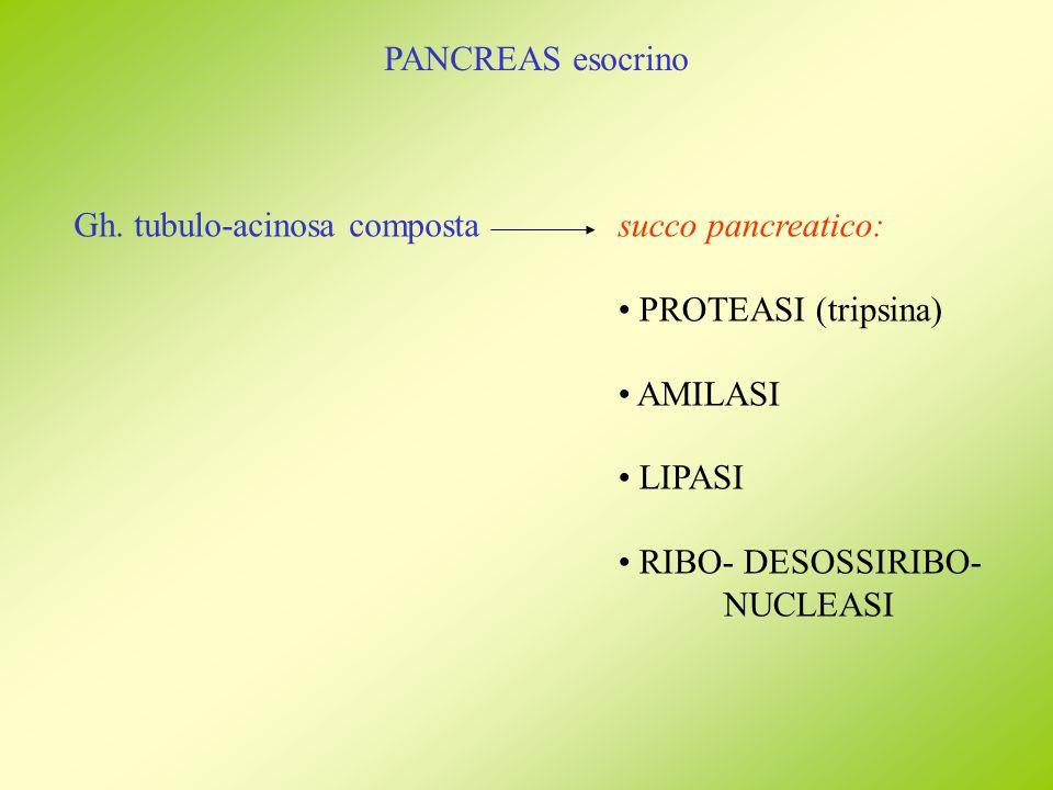 PANCREAS esocrino Gh. tubulo-acinosa compostasucco pancreatico: PROTEASI (tripsina) AMILASI LIPASI RIBO- DESOSSIRIBO- NUCLEASI