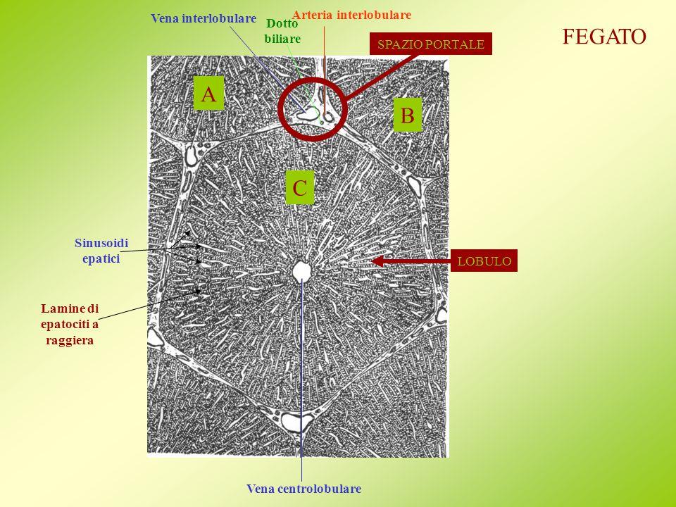 Vena centrolobulare Vena interlobulare Arteria interlobulare Dotto biliare SPAZIO PORTALE LOBULO Sinusoidi epatici A B C Lamine di epatociti a raggiera FEGATO