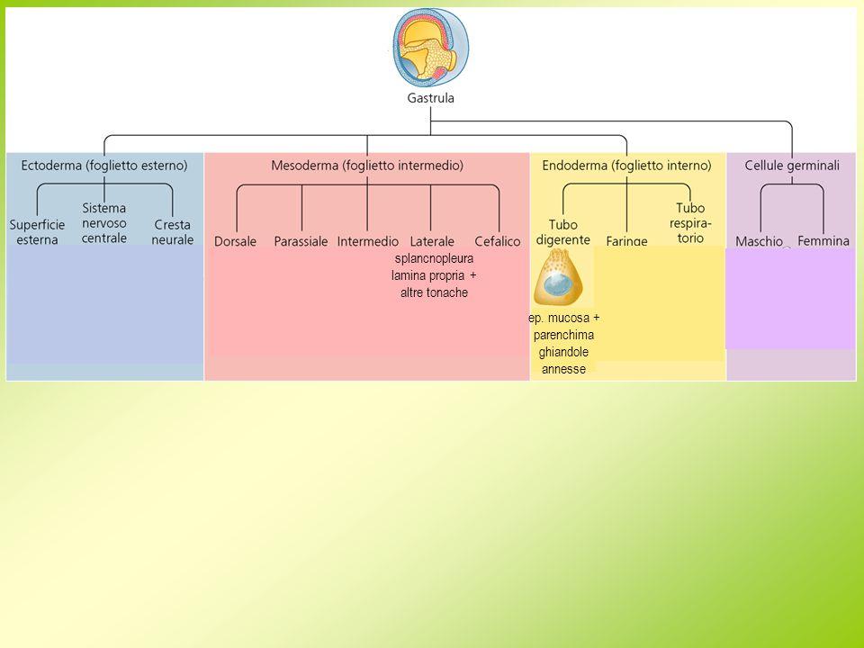 origine embrionale funzione evoluzione nelle varie classi