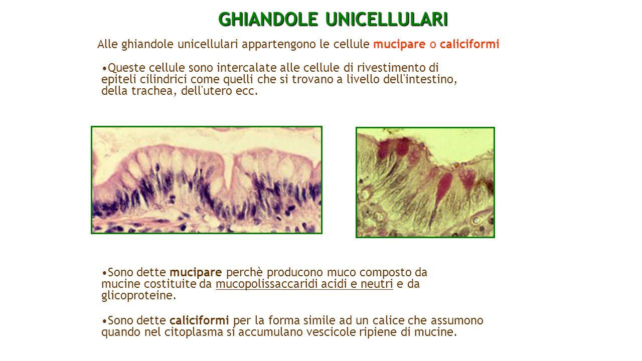 GHIANDOLE UNICELLULARI Alle ghiandole unicellulari appartengono le cellule mucipare o caliciformi Queste cellule sono intercalate alle cellule di rive
