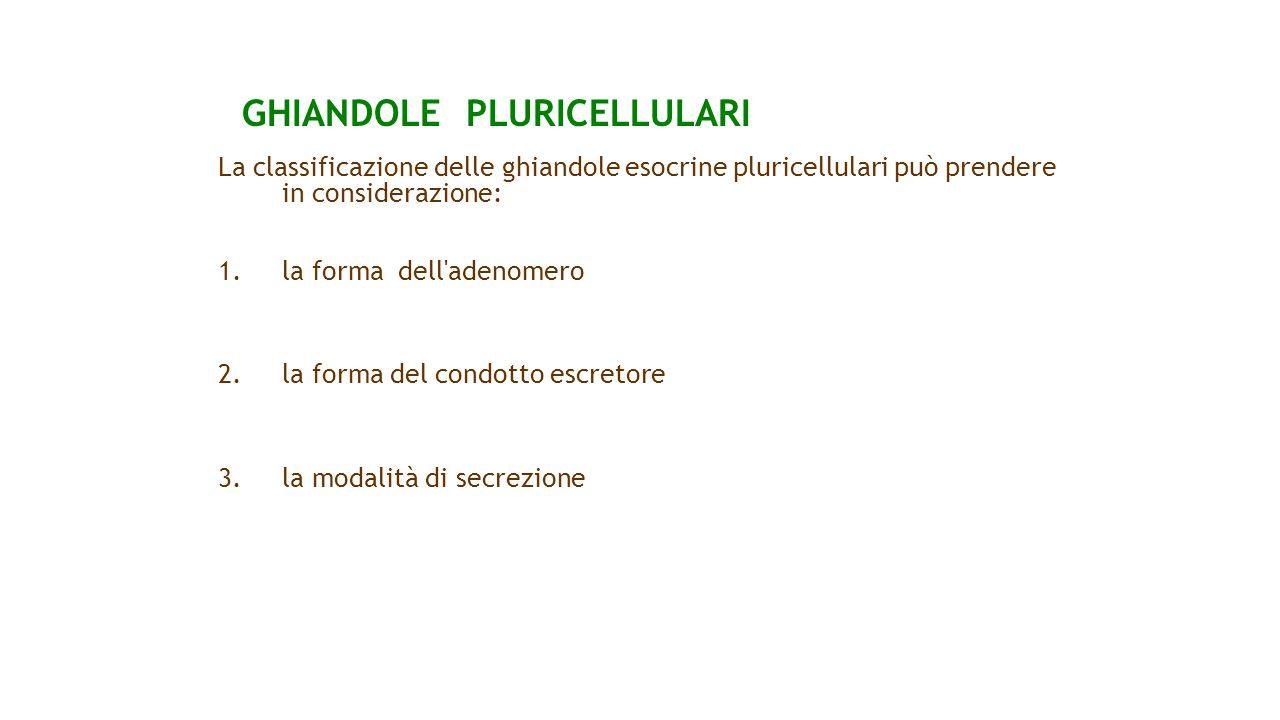 GHIANDOLE PLURICELLULARI La classificazione delle ghiandole esocrine pluricellulari può prendere in considerazione: 1.la forma dell'adenomero 2. la fo
