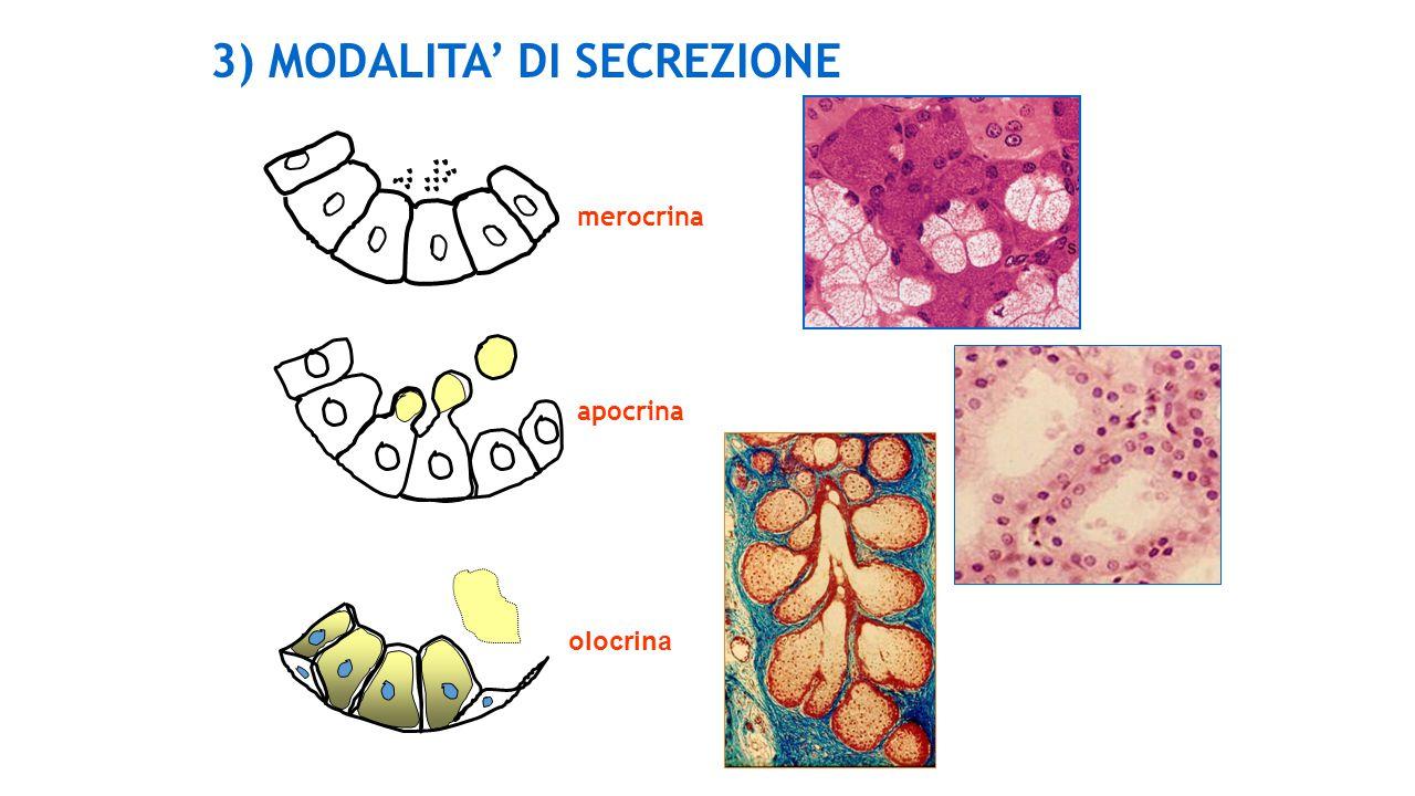 3) MODALITA DI SECREZIONE merocrina apocrina olocrina