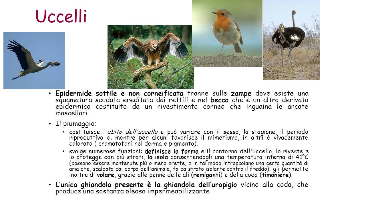 Uccelli Epidermide sottile e non corneificata tranne sulle zampe dove esiste una squamatura scudata ereditata dai rettili e nel becco che è un altro d