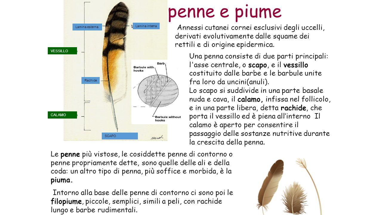 penne e piume VESSILLO CALAMO Rachide Lamina interna Lamina esterna SCAPO Annessi cutanei cornei esclusivi degli uccelli, derivati evolutivamente dalle squame dei rettili e di origine epidermica.
