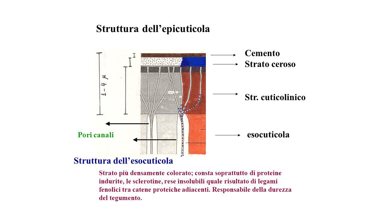 Struttura dellepicuticola Cemento Strato ceroso Str. cuticolinico esocuticola Struttura dellesocuticola Strato più densamente colorato; consta sopratt
