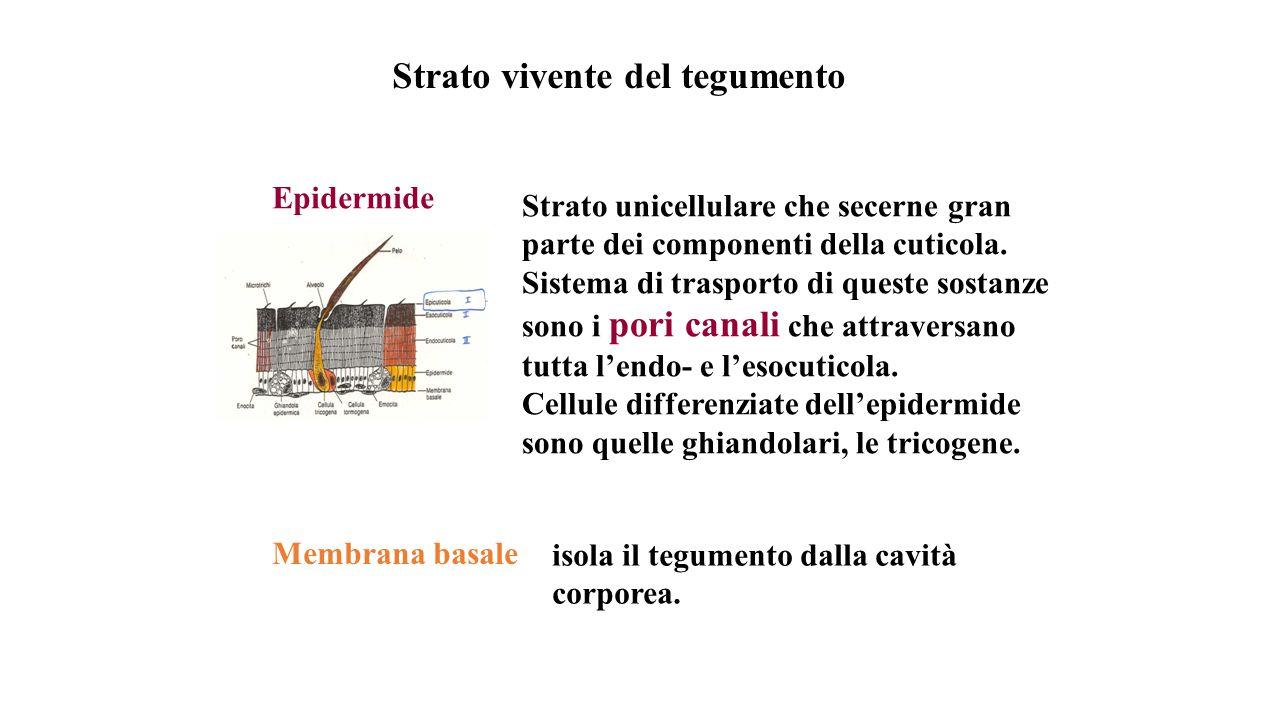 Strato vivente del tegumento Epidermide Membrana basale Strato unicellulare che secerne gran parte dei componenti della cuticola.