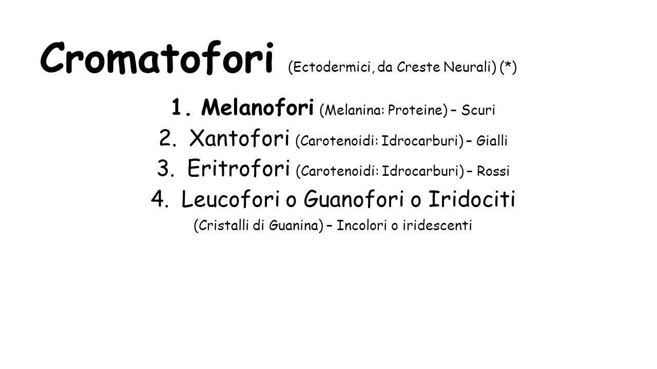 Cromatofori (Ectodermici, da Creste Neurali) (*) 1.Melanofori (Melanina: Proteine) – Scuri 2.Xantofori (Carotenoidi: Idrocarburi) – Gialli 3.Eritrofor