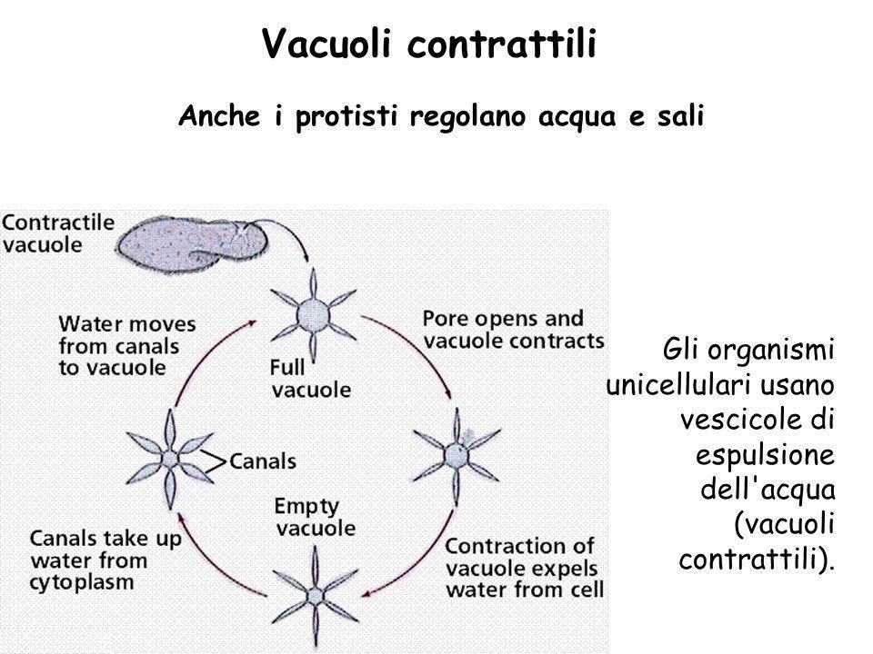 Vacuoli contrattili Anche i protisti regolano acqua e sali Gli organismi unicellulari usano vescicole di espulsione dell'acqua (vacuoli contrattili).