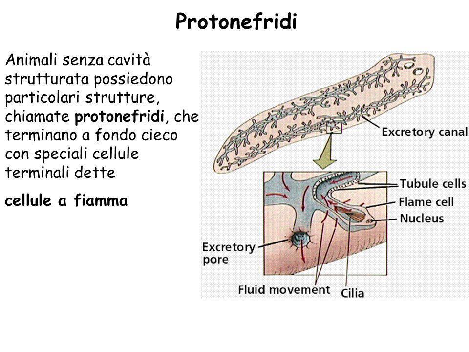 Protonefridi Animali senza cavità strutturata possiedono particolari strutture, chiamate protonefridi, che terminano a fondo cieco con speciali cellul