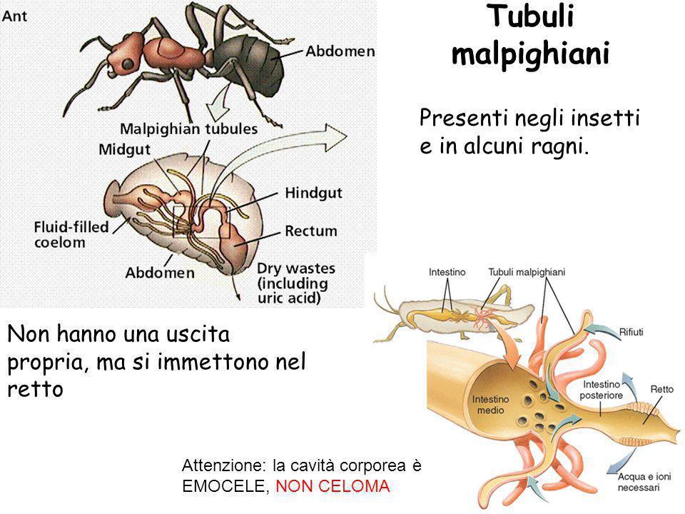 Tubuli malpighiani Non hanno una uscita propria, ma si immettono nel retto Presenti negli insetti e in alcuni ragni. Attenzione: la cavità corporea è
