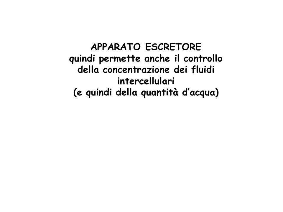 APPARATO ESCRETORE quindi permette anche il controllo della concentrazione dei fluidi intercellulari (e quindi della quantità dacqua)