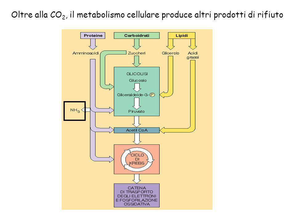 Oltre alla CO 2, il metabolismo cellulare produce altri prodotti di rifiuto