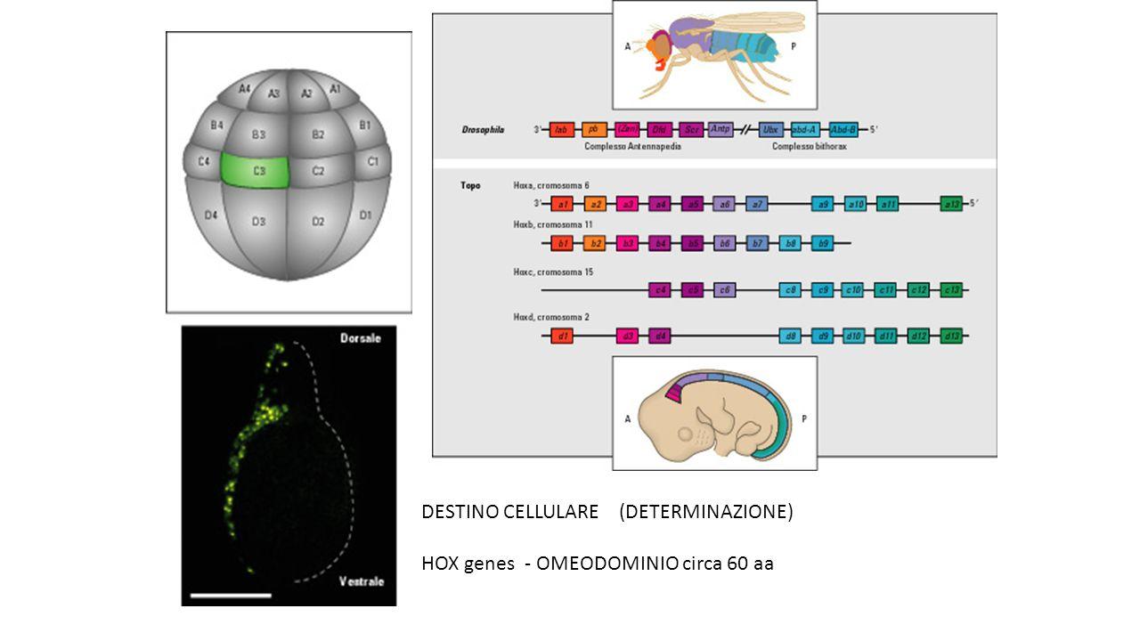DESTINO CELLULARE (DETERMINAZIONE) HOX genes - OMEODOMINIO circa 60 aa