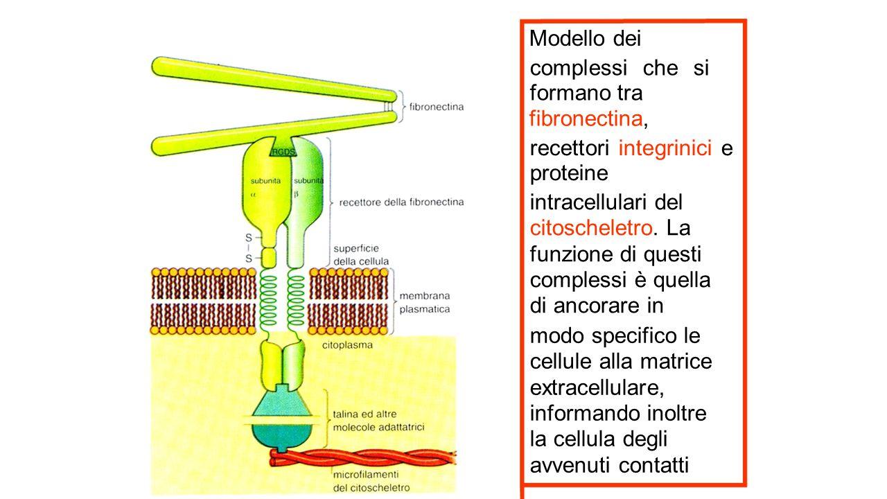 Modello dei complessi che si formano tra fibronectina, recettori integrinici e proteine intracellulari del citoscheletro. La funzione di questi comple