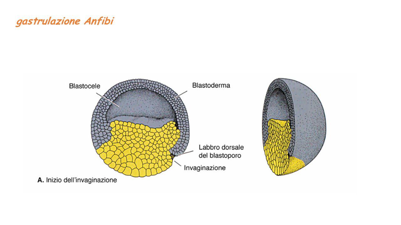gastrulazione Anfibi