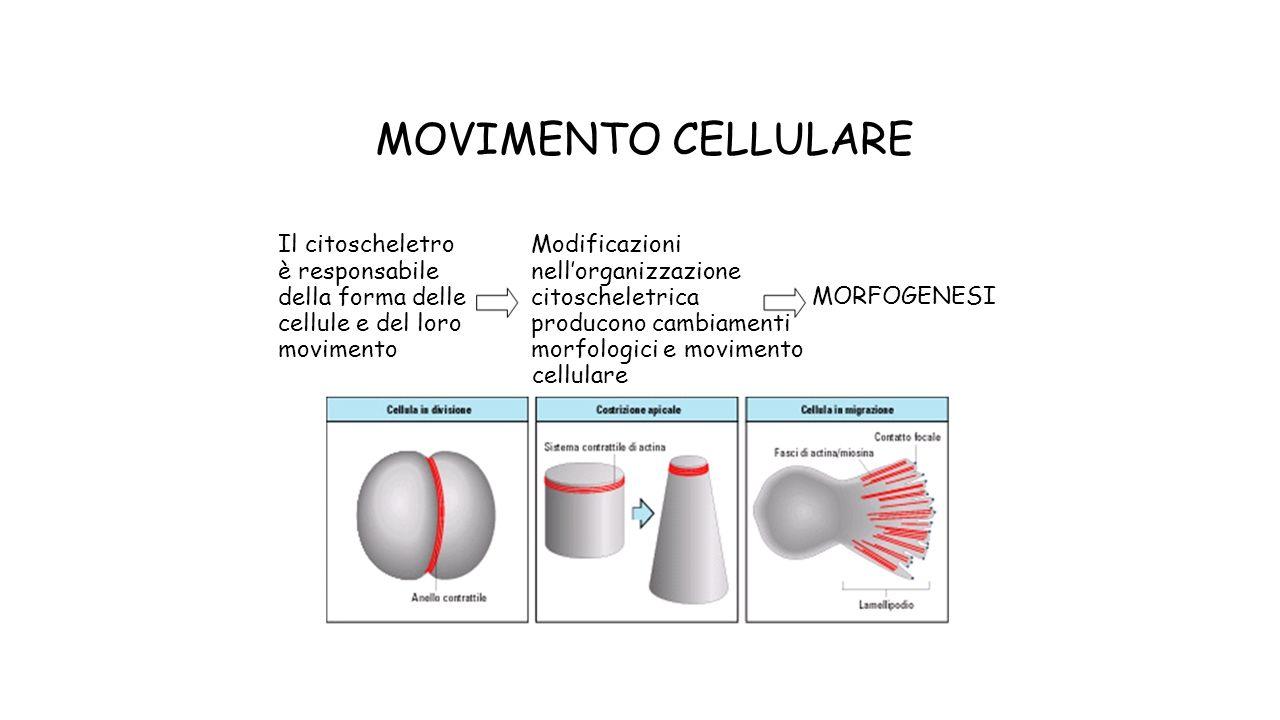 MOVIMENTO CELLULARE Il citoscheletroModificazioni è responsabilenellorganizzazione della forma dellecitoscheletrica MORFOGENESI cellule e del loroproducono cambiamenti movimentomorfologici e movimento cellulare