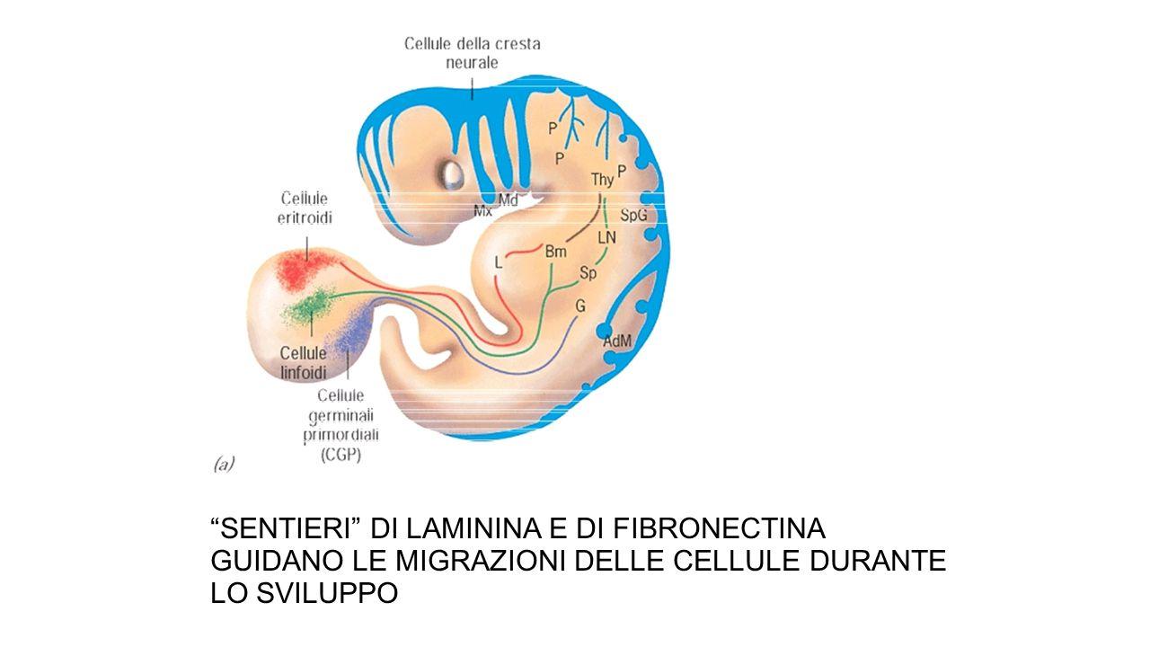 SENTIERI DI LAMININA E DI FIBRONECTINA GUIDANO LE MIGRAZIONI DELLE CELLULE DURANTE LO SVILUPPO