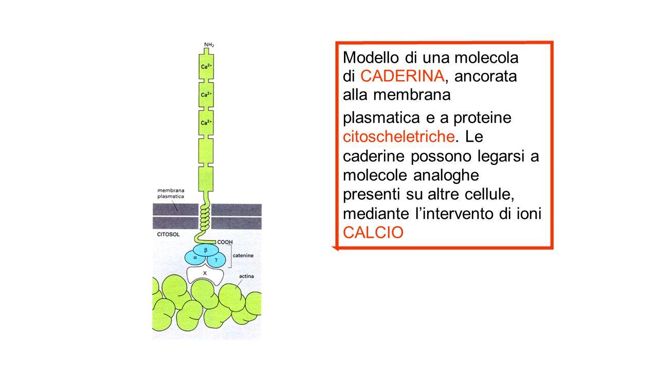 Modello di una molecola di CADERINA, ancorata alla membrana plasmatica e a proteine citoscheletriche. Le caderine possono legarsi a molecole analoghe