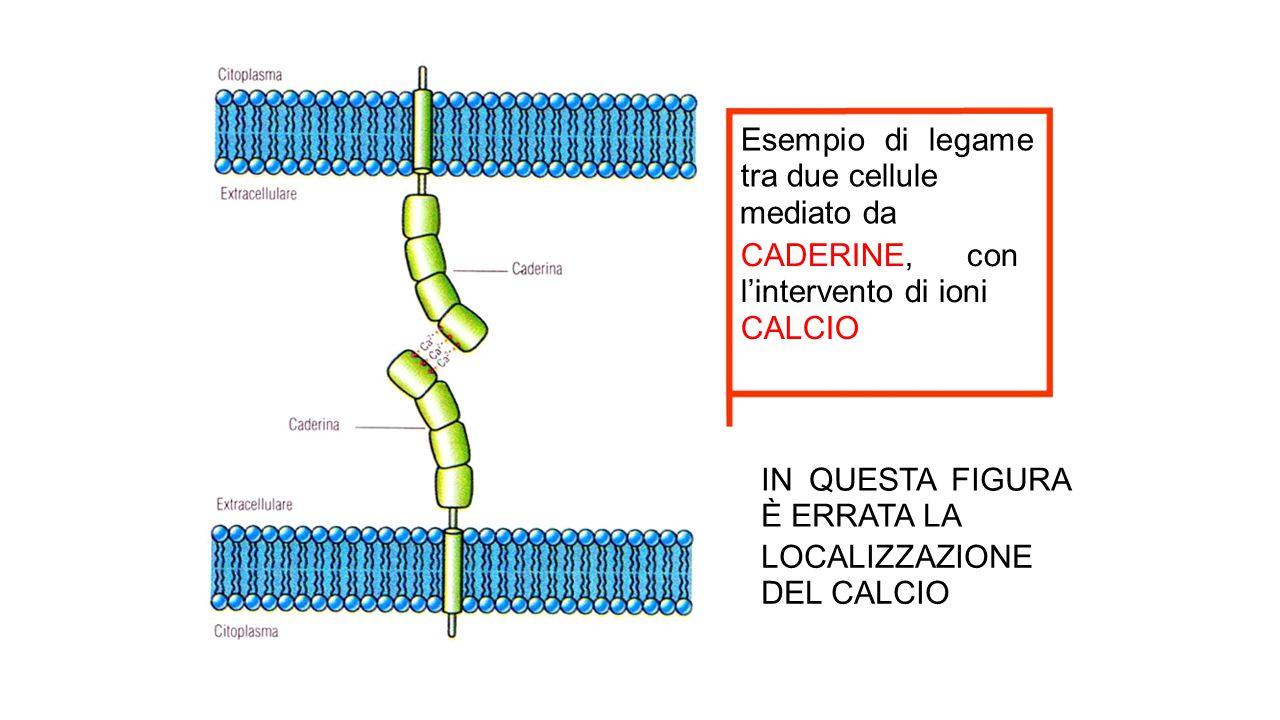 Esempio di legame tra due cellule mediato da CADERINE, con lintervento di ioni CALCIO IN QUESTA FIGURA È ERRATA LA LOCALIZZAZIONE DEL CALCIO