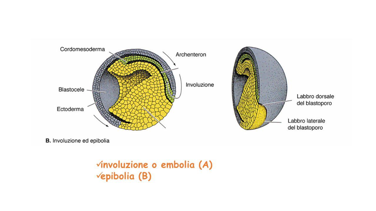 involuzione o embolia (A) epibolia (B)