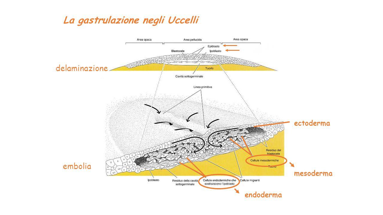 La gastrulazione negli Uccelli embolia mesoderma endoderma ectoderma delaminazione