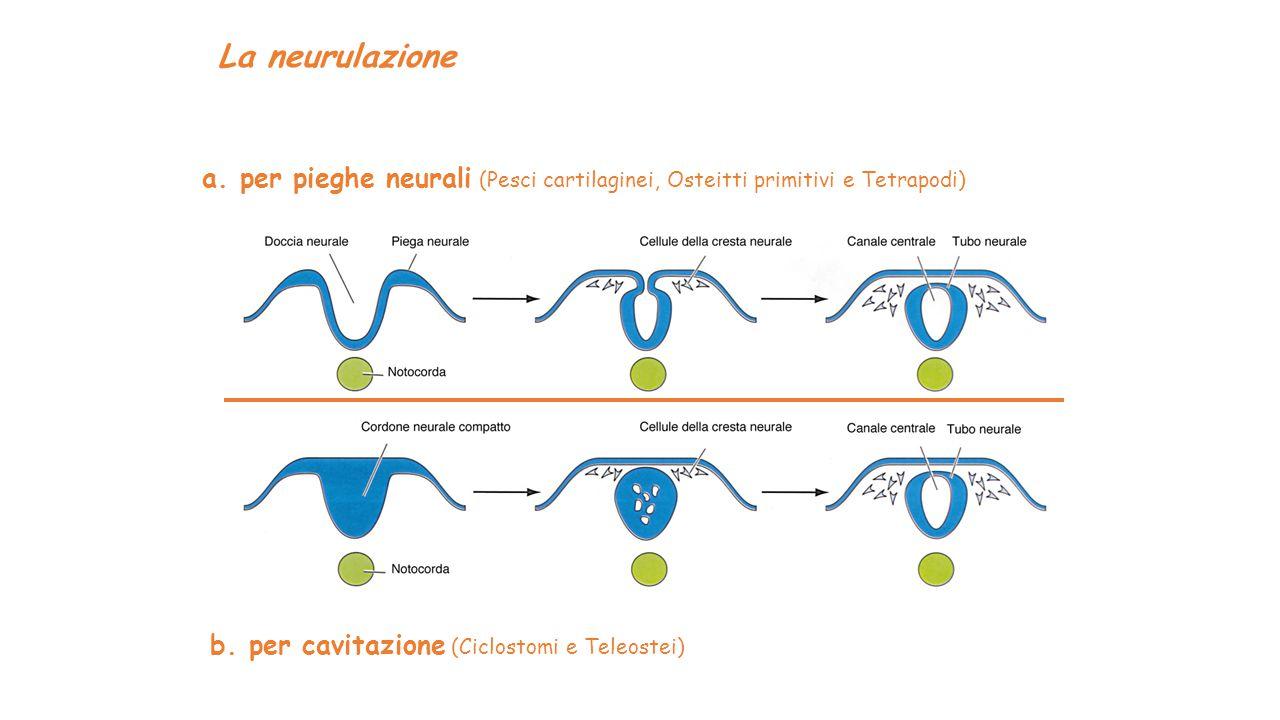 La neurulazione a. per pieghe neurali (Pesci cartilaginei, Osteitti primitivi e Tetrapodi) b. per cavitazione (Ciclostomi e Teleostei)