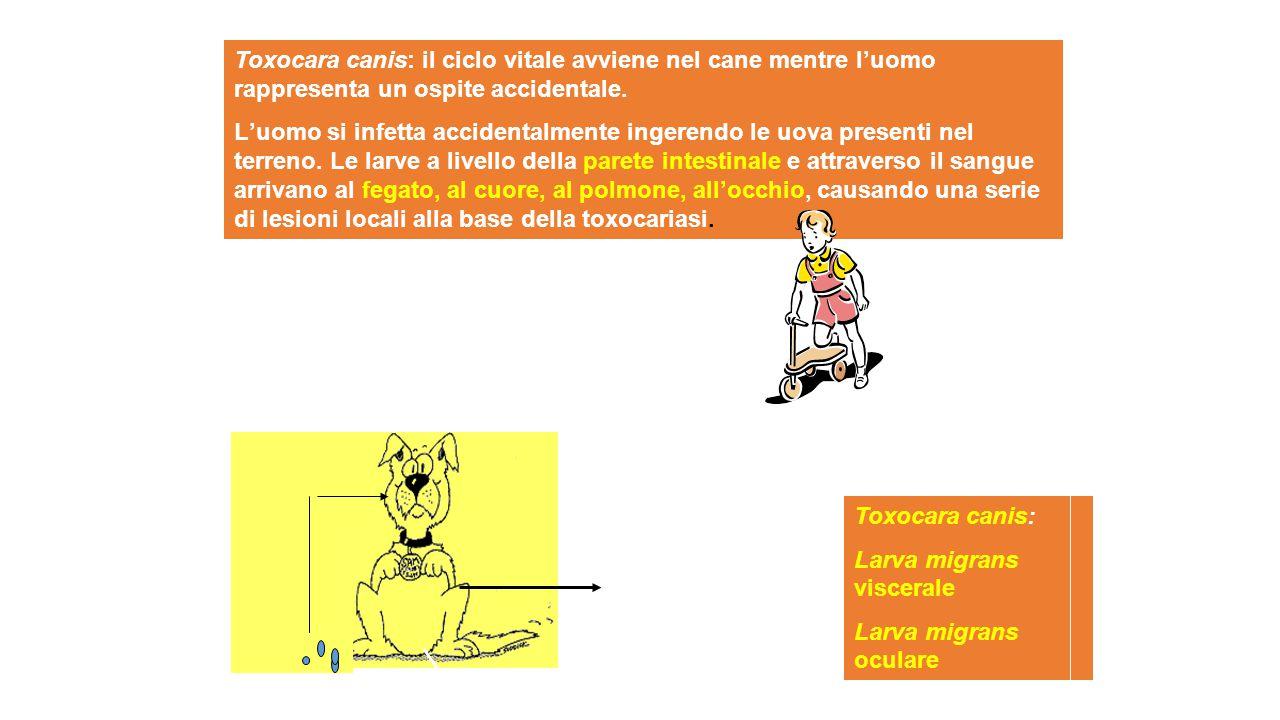 Toxocara canis: il ciclo vitale avviene nel cane mentre luomo rappresenta un ospite accidentale. Luomo si infetta accidentalmente ingerendo le uova pr