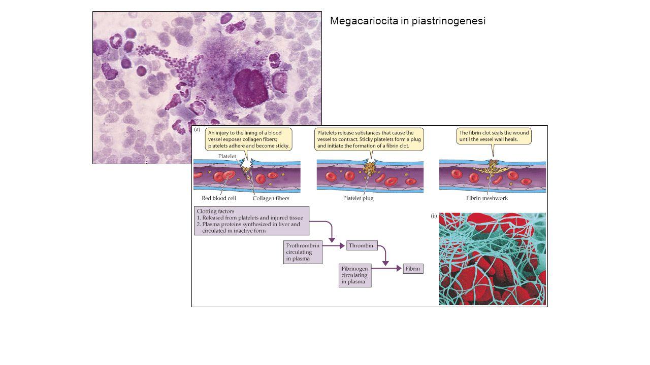 Megacariocita in piastrinogenesi
