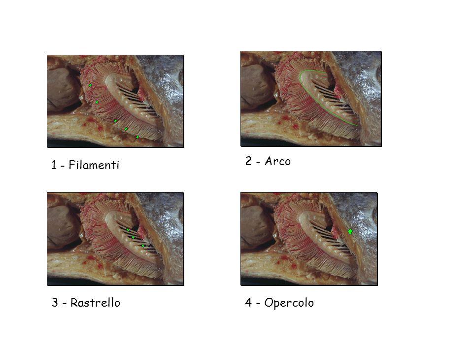 4 - Opercolo 1 - Filamenti 2 - Arco 3 - Rastrello