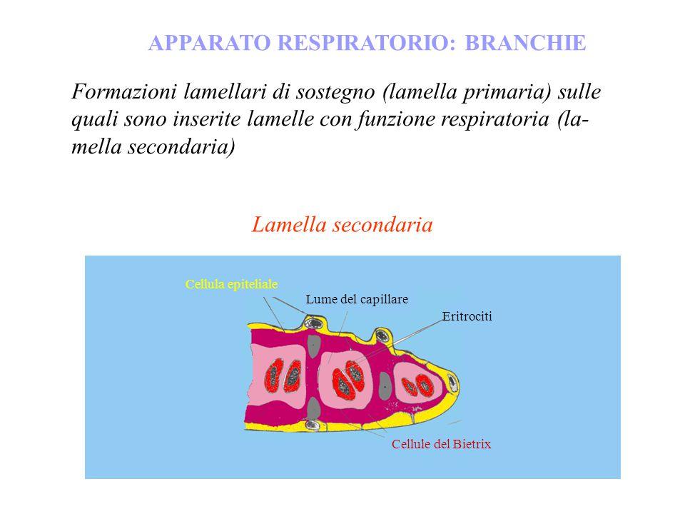 APPARATO RESPIRATORIO: BRANCHIE Lamella secondaria Cellula epiteliale Eritrociti Lume del capillare Cellule del Bietrix Formazioni lamellari di sosteg