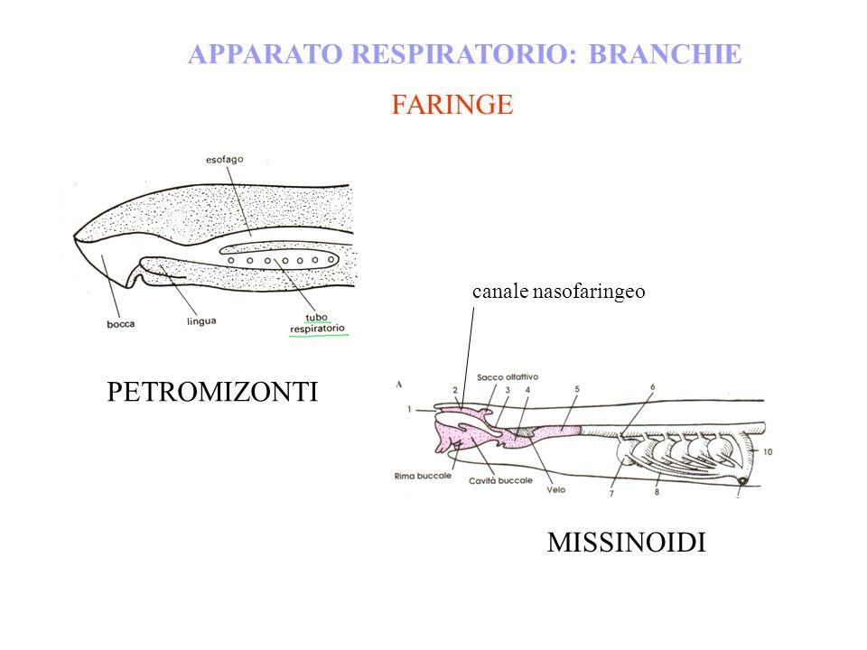 APPARATO RESPIRATORIO: BRANCHIE MISSINOIDI PETROMIZONTI FARINGE canale nasofaringeo