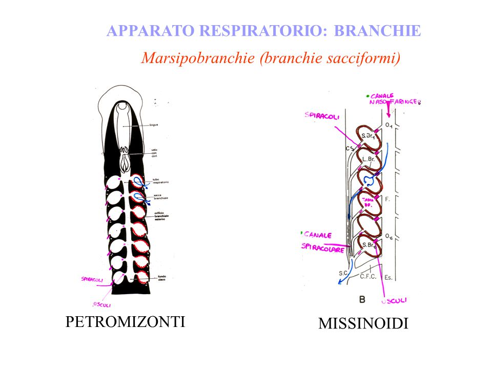 APPARATO RESPIRATORIO: BRANCHIE Marsipobranchie (branchie sacciformi) MISSINOIDI PETROMIZONTI