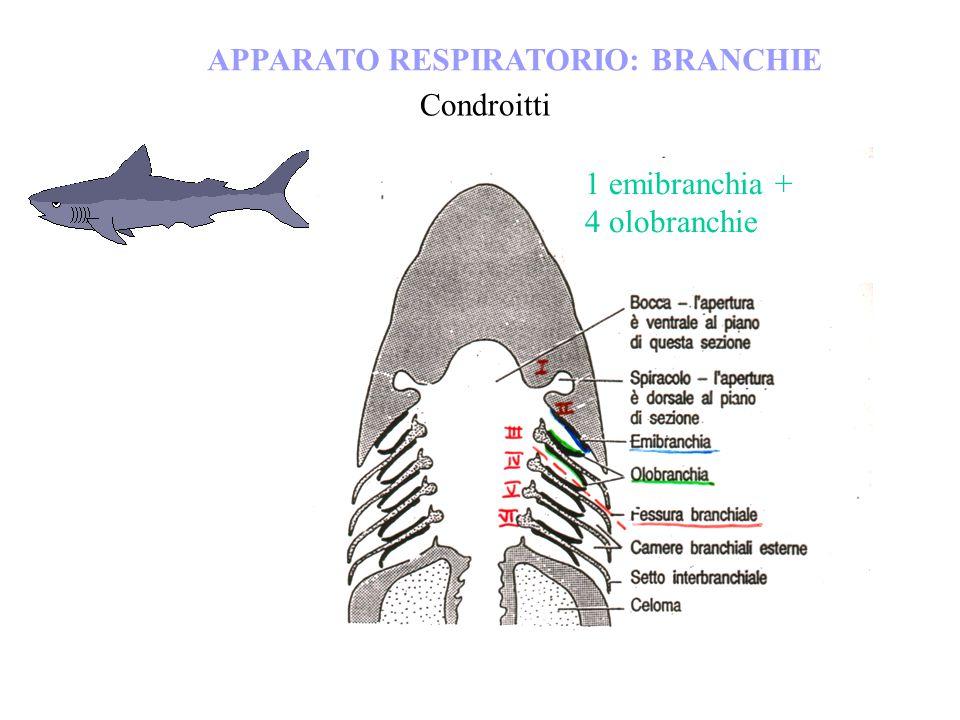 APPARATO RESPIRATORIO: BRANCHIE Condroitti 1 emibranchia + 4 olobranchie