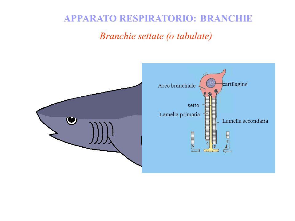 APPARATO RESPIRATORIO: BRANCHIE Branchie settate (o tabulate) cartilagine Arco branchiale setto Lamella primaria Lamella secondaria