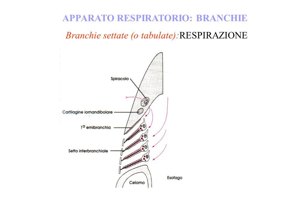 Branchie settate (o tabulate):RESPIRAZIONE APPARATO RESPIRATORIO: BRANCHIE