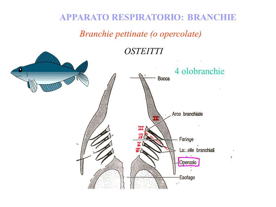 Branchie pettinate (o opercolate) APPARATO RESPIRATORIO: BRANCHIE OSTEITTI 4 olobranchie