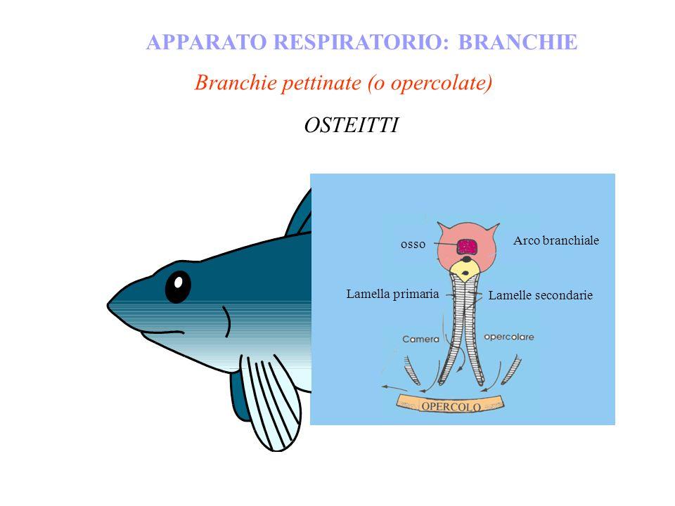 Branchie pettinate (o opercolate) APPARATO RESPIRATORIO: BRANCHIE OSTEITTI osso Arco branchiale Lamella primaria Lamelle secondarie