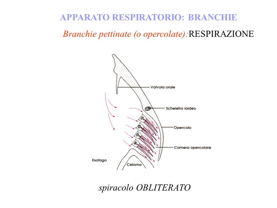 Branchie pettinate (o opercolate):RESPIRAZIONE APPARATO RESPIRATORIO: BRANCHIE spiracolo OBLITERATO
