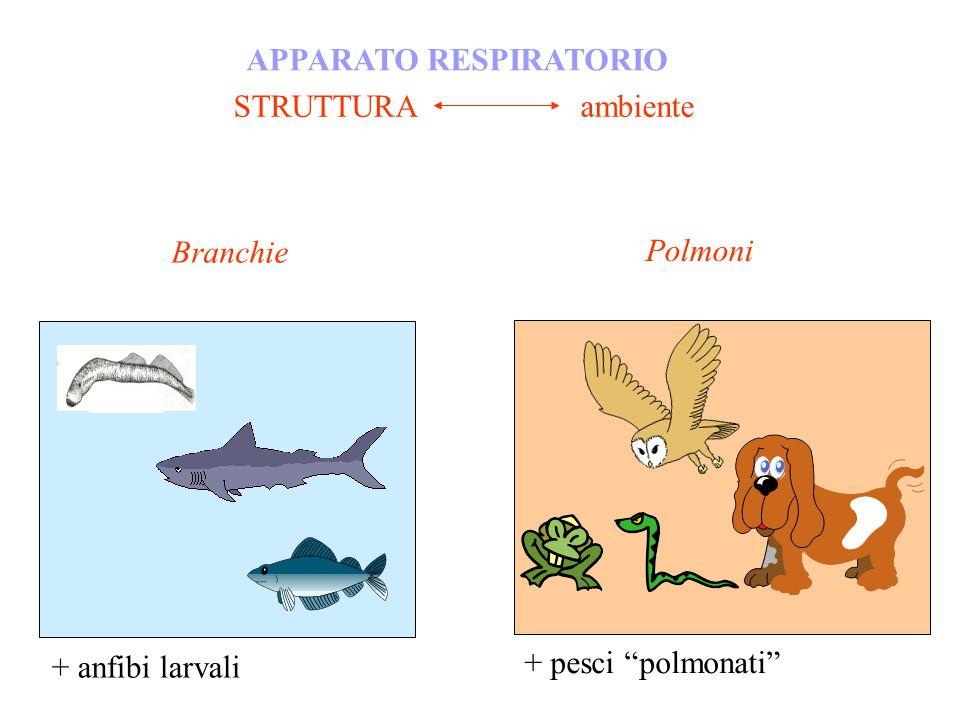 STRUTTURA ambiente APPARATO RESPIRATORIO + anfibi larvali + pesci polmonati Branchie Polmoni