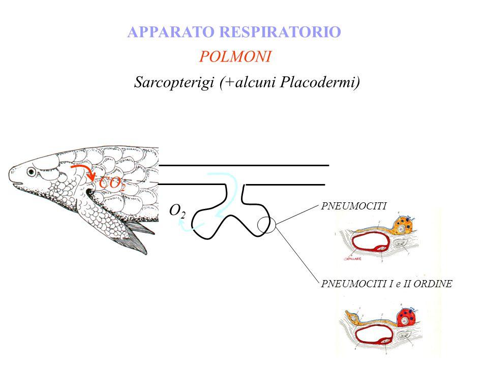 POLMONI APPARATO RESPIRATORIO Sarcopterigi (+alcuni Placodermi) O2O2 CO 2 PNEUMOCITI PNEUMOCITI I e II ORDINE