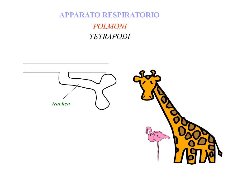 POLMONI APPARATO RESPIRATORIO TETRAPODI trachea