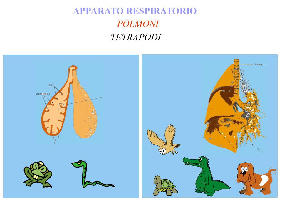 POLMONI APPARATO RESPIRATORIO TETRAPODI